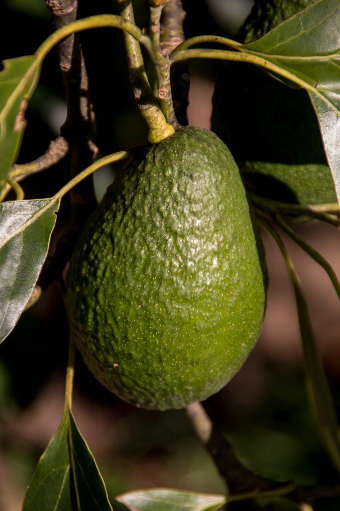 как вырастить авокадо из косточки дома